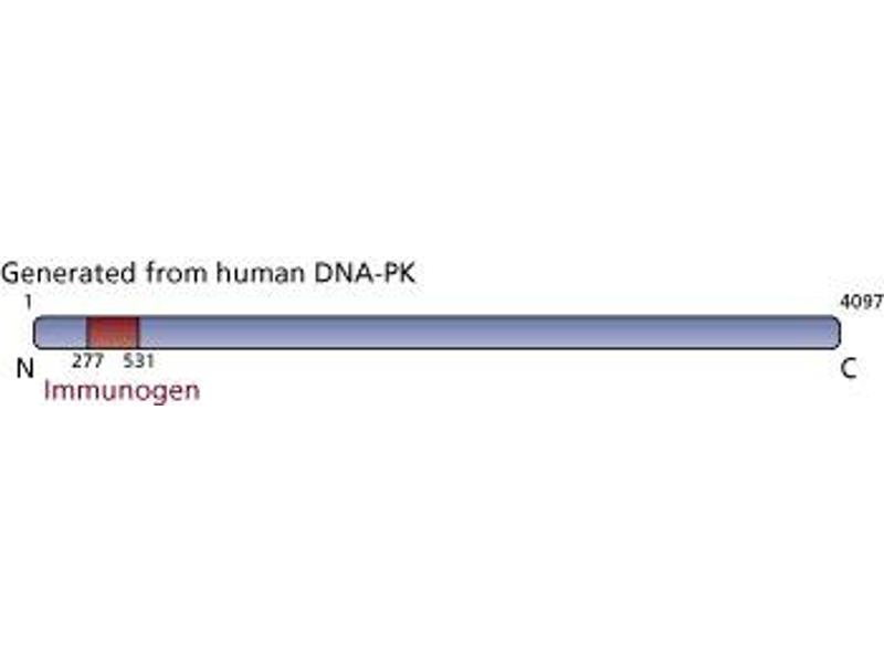 Image no. 2 for anti-DNA-PK (p350) (AA 277-531) antibody (ABIN967533)