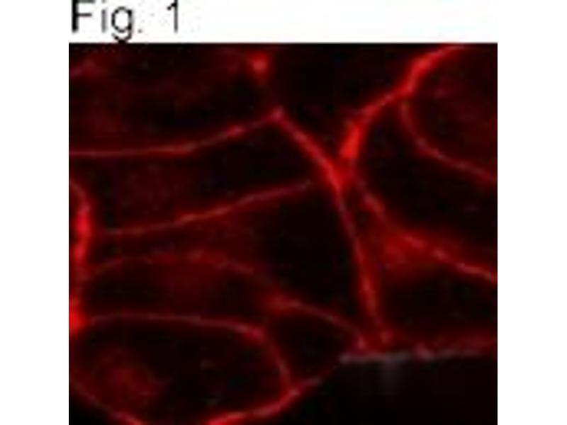 Immunofluorescence (IF) image for anti-CNR1 antibody (Cannabinoid Receptor 1) (ABIN152711)