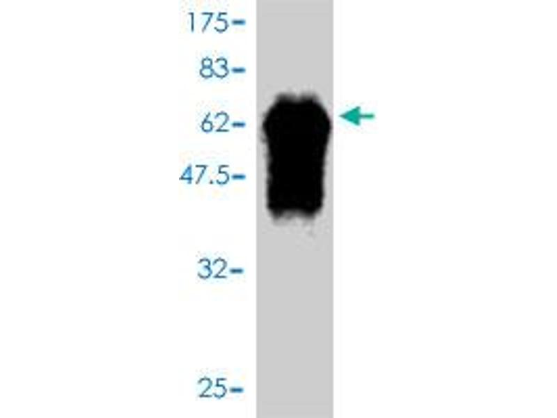 Western Blotting (WB) image for anti-F-Box Protein 6 (FBXO6) (AA 1-294) antibody (ABIN393713)