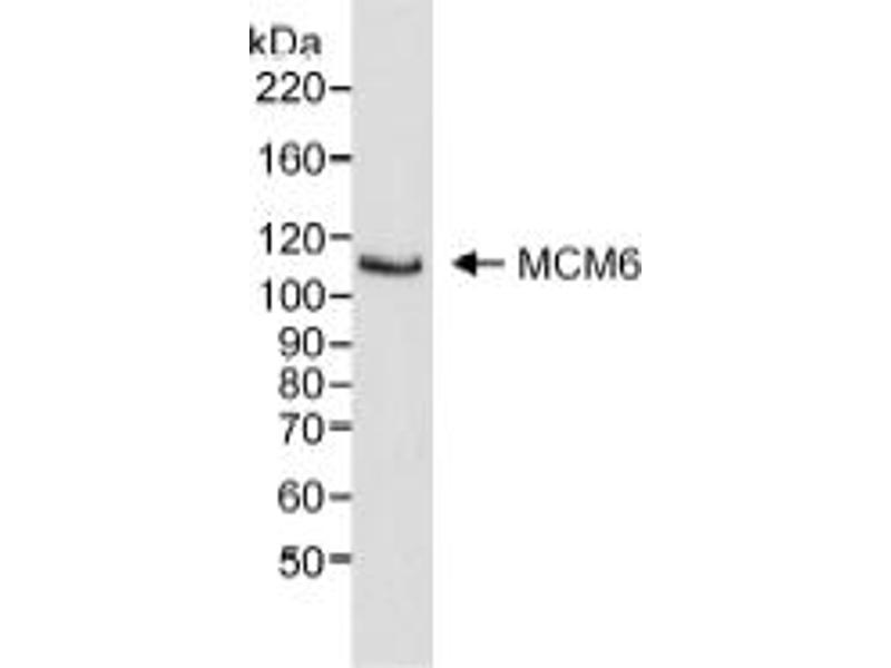 Western Blotting (WB) image for anti-Minichromosome Maintenance Complex Component 6 (MCM6) (C-Term) antibody (ABIN151757)
