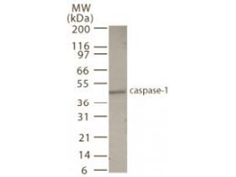 Western Blotting (WB) image for anti-Caspase 1 antibody (CASP1) (AA 31-45) (ABIN123499)