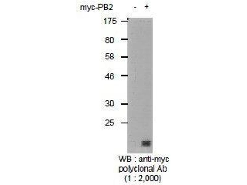 Western Blotting (WB) image for anti-Myc Tag (AA 410-419) antibody (ABIN2452052)