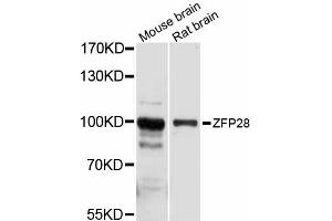 Image no. 1 for anti-Zinc Finger Protein 28 Homolog (Mouse) (ZFP28) antibody (ABIN6293840)