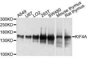 Western Blotting (WB) image for anti-Kinesin Family Member 4A (KIF4A) antibody (ABIN4904155)