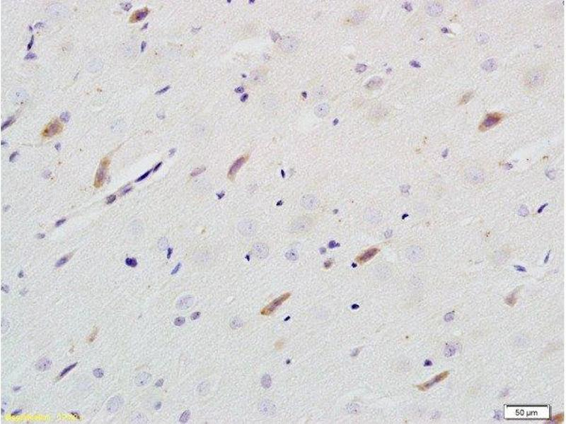Immunohistochemistry (Paraffin-embedded Sections) (IHC (p)) image for anti-Neuroligin 1 (NLGN1) (AA 716-766) antibody (ABIN705311)