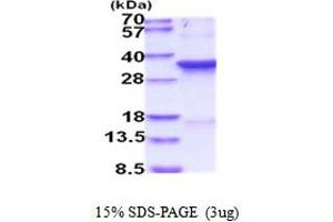 Image no. 1 for Cyclin-Dependent Kinase 1 (CDK1) (AA 1-297) protein (His tag) (ABIN5854138)