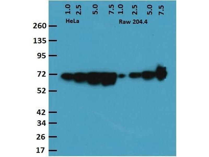 Western Blotting (WB) image for anti-Heat Shock 60kDa Protein 1 (Chaperonin) (HSPD1) antibody (ABIN263949)