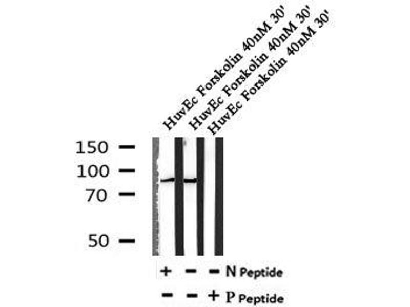 Image no. 4 for anti-Nibrin (NBN) (pSer432) antibody (ABIN6269695)
