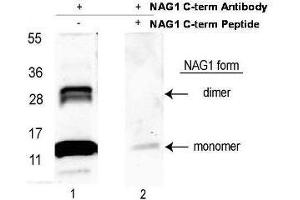 Image no. 1 for anti-Growth Differentiation Factor 15 (GDF15) (C-Term) antibody (HRP) (ABIN1043915)