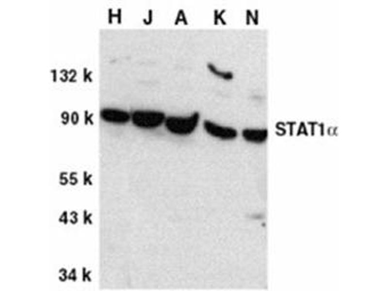 Image no. 1 for anti-STAT1 antibody (Signal Transducer and Activator of Transcription 1, 91kDa) (C-Term) (ABIN318977)