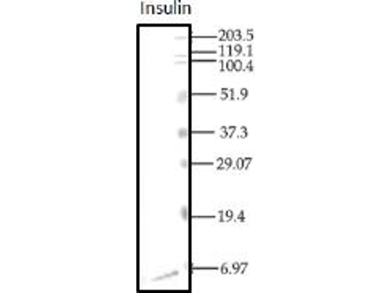 Western Blotting (WB) image for anti-Insulin (INS) antibody (ABIN487416)