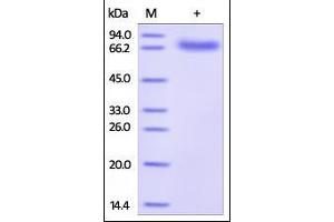 Image no. 1 for CD274 Molecule (CD274) (AA 19-238) (Active) protein (Fc Tag,AVI tag,Biotin,His tag) (ABIN2181597)