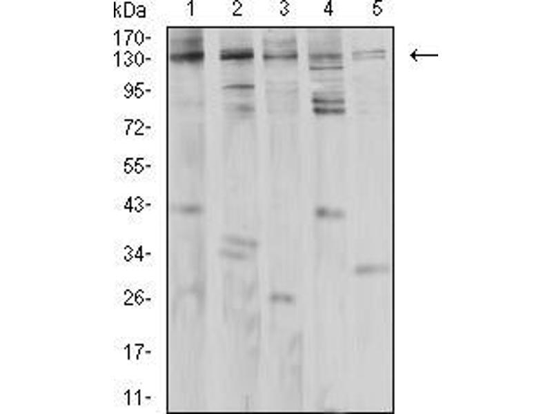Western Blotting (WB) image for anti-phospholipase C, gamma 1 (PLCG1) (AA 39-181) antibody (ABIN5542682)