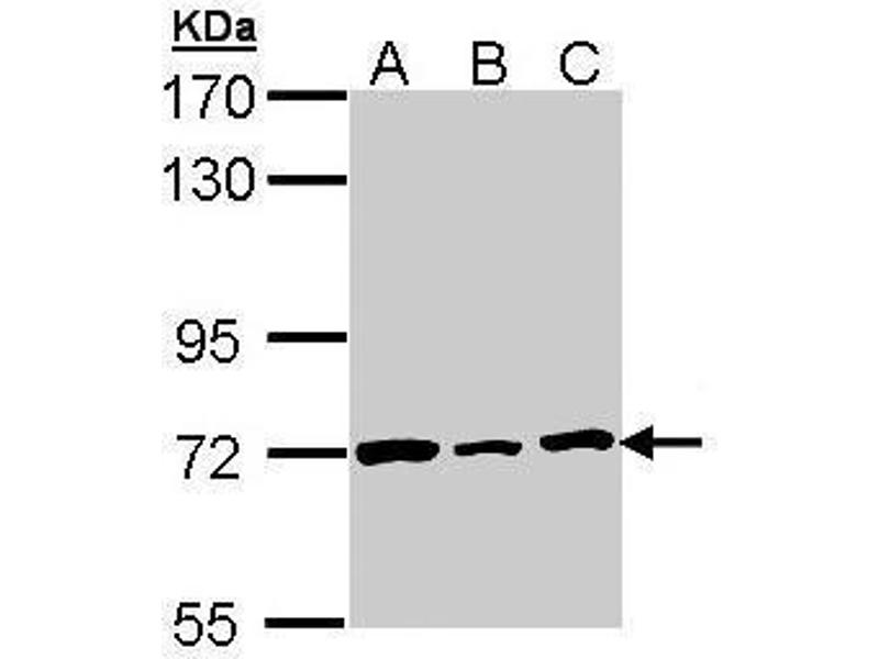 Western Blotting (WB) image for anti-Lamin B2 (LMNB2) (Internal Region) antibody (ABIN2856712)