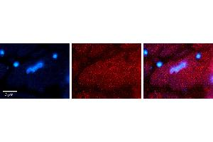 Image no. 1 for anti-HtrA Serine Peptidase 1 (HTRA1) (N-Term) antibody (ABIN2789539)