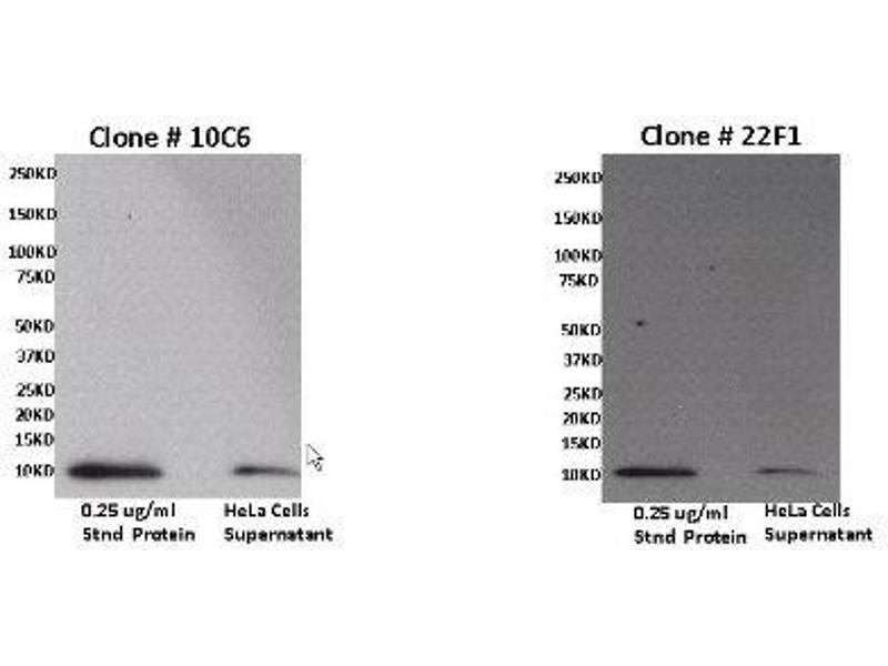 Western Blotting (WB) image for anti-Chemokine (C-X-C Motif) Ligand 11 (CXCL11) antibody (ABIN4265313)