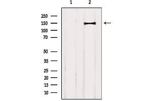 Image no. 1 for anti-Contactin Associated Protein-Like 4 (CNTNAP4) antibody (ABIN6260923)