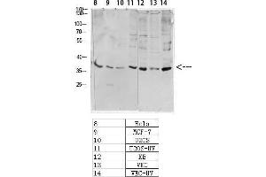 Image no. 3 for anti-cAMP Responsive Element Binding Protein 1 (CREB1) (pSer133) antibody (ABIN3181974)