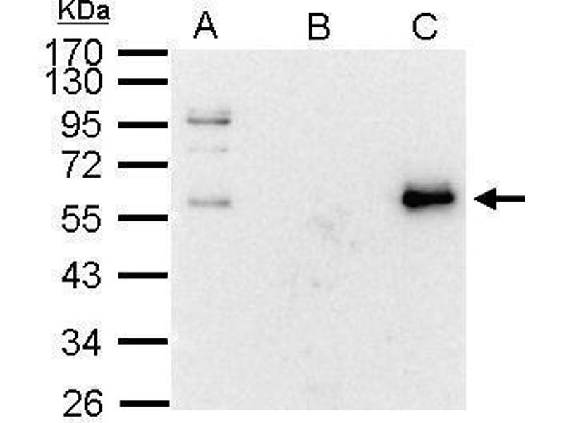 Immunoprecipitation (IP) image for anti-C-MYC antibody (V-Myc Myelocytomatosis Viral Oncogene Homolog (Avian)) (Center) (ABIN2855631)