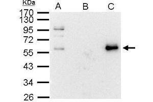 Immunoprecipitation (IP) image for anti-V-Myc Myelocytomatosis Viral Oncogene Homolog (Avian) (MYC) (Center) antibody (ABIN2855631)