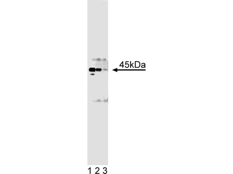 Western Blotting (WB) image for anti-Casein Kinase II alpha /alpha (AA 1-123) antibody (ABIN968610)