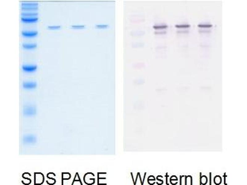 Western Blotting (WB) image for Influenza A (Nucleoprotein) protein (ABIN3172540)
