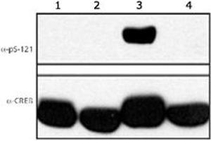 Western Blotting (WB) image for anti-cAMP Responsive Element Binding Protein 1 (CREB1) (pSer121) antibody (ABIN540823)