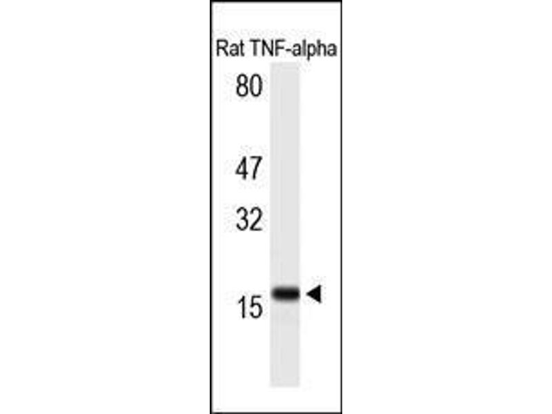 Western Blotting (WB) image for anti-Tumor Necrosis Factor antibody (TNF) (C-Term) (ABIN1582064)