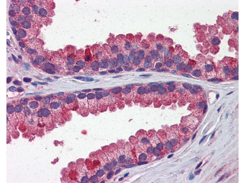 Immunohistochemistry (IHC) image for anti-WNT3A antibody (Wingless-Type MMTV Integration Site Family, Member 3A) (N-Term) (ABIN2787841)