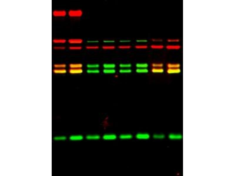 Western Blotting (WB) image for 山羊 anti-兔 IgG (Heavy & Light Chain) Antibody (IRDye800CW) (ABIN2169623)