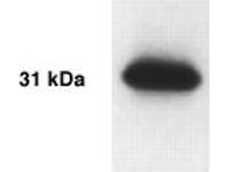 Western Blotting (WB) image for anti-Kallikrein 13 Antikörper (Kallikrein-Related Peptidase 13) (AA 262-277) (ABIN152282)