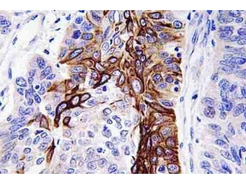 Immunohistochemistry (Paraffin-embedded Sections) (IHC (p)) image for anti-Solute Carrier Family 2 (Facilitated Glucose Transporter), Member 4 (SLC2A4) antibody (ABIN4314630)