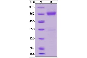 Image no. 2 for Cytokine Receptor-Like Factor 2 (CRLF2) (AA 25-231) (Active) protein (Fc Tag) (ABIN6253631)