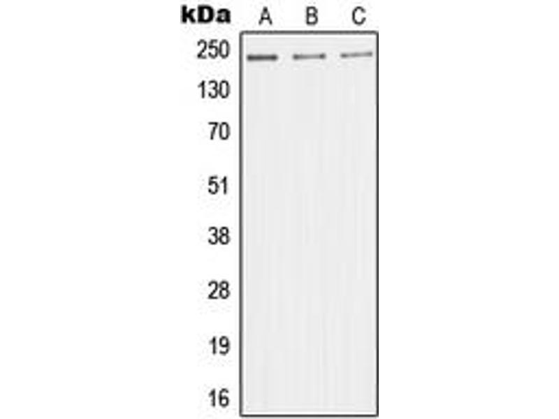 Image no. 2 for anti-Mediator Complex Subunit 1 (MED1) (Center) antibody (ABIN2707198)