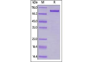 Image no. 2 for Lymphocyte-Activation Gene 3 (LAG3) (AA 23-450) protein (Fc Tag) (ABIN6253552)