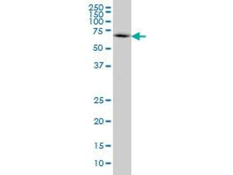 Western Blotting (WB) image for anti-WASL antibody (Wiskott-Aldrich Syndrome-Like) (AA 97-184) (ABIN563894)