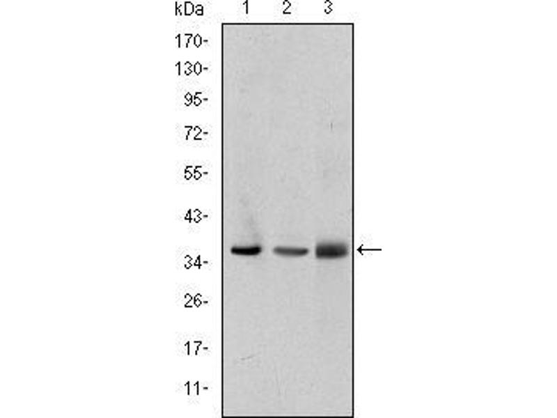 Western Blotting (WB) image for anti-LIM and Senescent Cell Antigen-Like Domains 1 (LIMS1) antibody (ABIN969354)