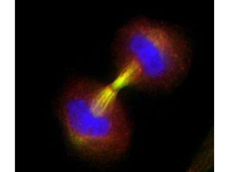 Immunofluorescence (IF) image for anti-Survivin antibody (BIRC5) (ABIN153009)