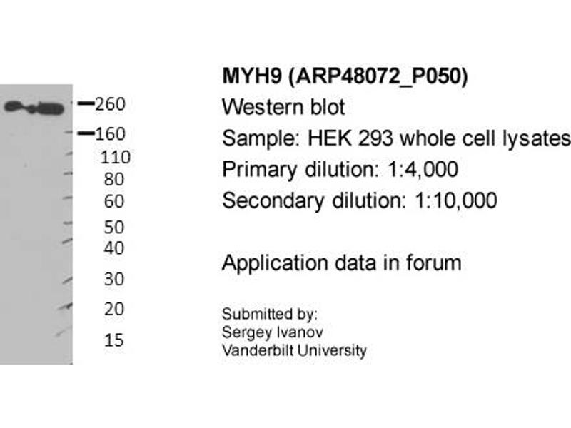 image for anti-Non-Muscle Myosin Heavy Polypeptide 9 (MYH9) (Middle Region) antibody (ABIN2783216)