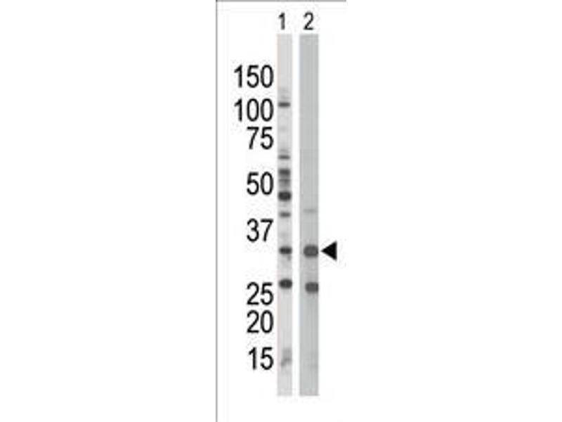 Western Blotting (WB) image for anti-AMPK beta (PRKAB1) (AA 4-34), (N-Term) antibody (ABIN391054)