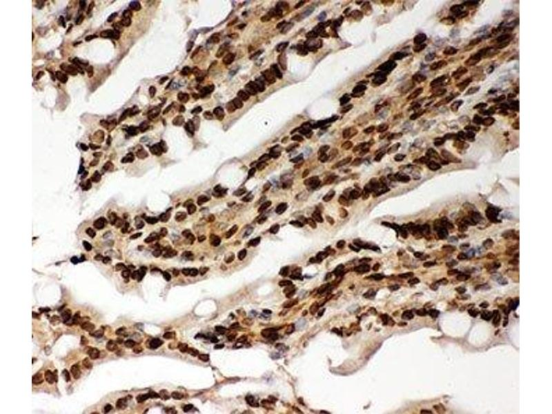 Immunohistochemistry (IHC) image for anti-Lamin A/C antibody (LMNA) (AA 481-646) (ABIN3031583)