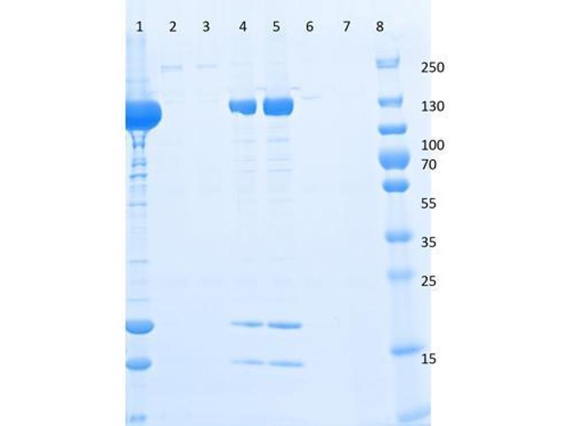 SDS-PAGE (SDS) image for DYKDDDDK Tag peptide (DYKDDDDK Tag) (ABIN1607595)