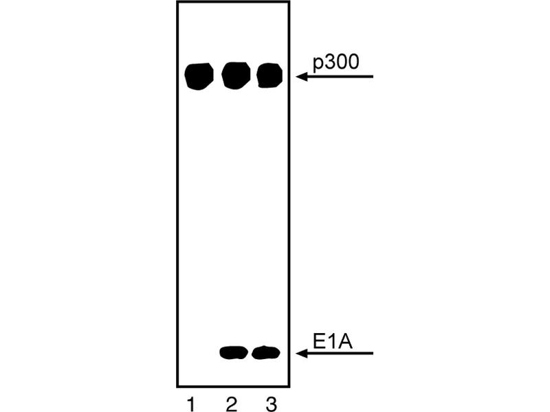 Western Blotting (WB) image for anti-p300 antibody (E1A Binding Protein P300) (ABIN967440)