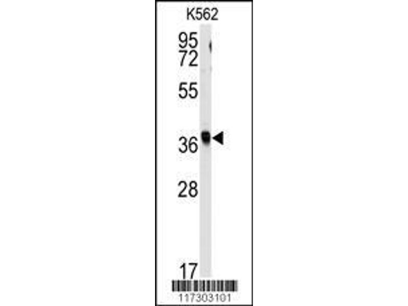 Western Blotting (WB) image for anti-Replication Factor C (Activator 1) 2, 40kDa (RFC2) (AA 17-46), (N-Term) antibody (ABIN389297)