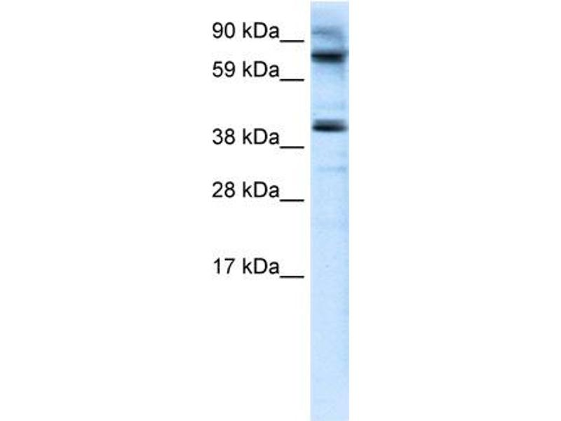 Western Blotting (WB) image for anti-MANSC Domain Containing 1 (MANSC1) (N-Term) antibody (ABIN182982)