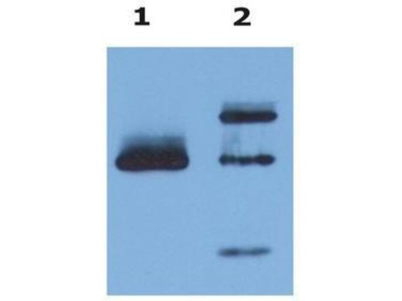 Western Blotting (WB) image for anti-HLA Class I Histocompatibility Antigen, alpha Chain G (HLAG) (AA 61-83) antibody (ABIN567601)