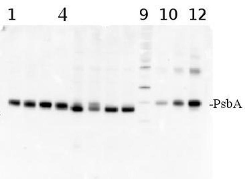 Image no. 3 for anti-D1 Protein of PSII, (PsbA) (C-Term) antibody (ABIN93523)