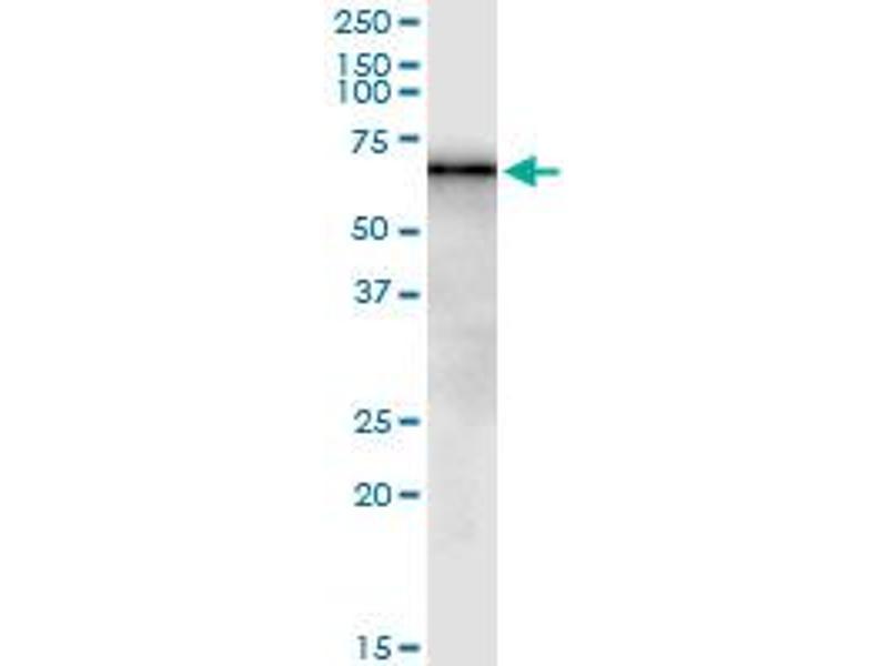 Image no. 1 for anti-BCL2-Associated Athanogene 4 (BAG4) (AA 1-457) antibody (ABIN523014)