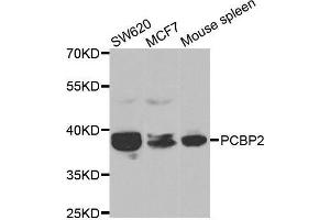 Image no. 3 for anti-Poly(rC) Binding Protein 2 (PCBP2) antibody (ABIN3023340)