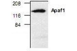 Western Blotting (WB) image for anti-Apoptotic Peptidase Activating Factor 1 (APAF1) antibody (ABIN222876)